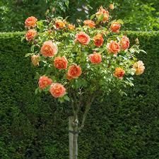 poza Trandafiri de gradina pe picior, radacina ambalata, soiul 'Orangina-Monica'