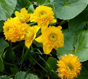 poza Plante acvatice,Caltha palustris 'Multiplex'