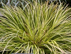 poza Plante acvatice, Acorus gramineus Ogon