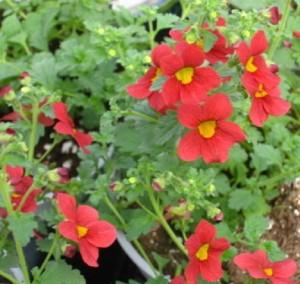 poza Plante acvatice ,Mimulus Bonfire Red