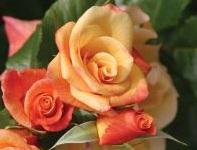 poza Butasi de trandafiri urcatori cu radacina ambalata, soiul Moonlight