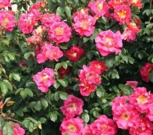poza Butasi de trandafiri urcatori cu radacina ambalata Bajazzo