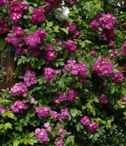 poza Butasi de trandafiri urcatori soiul 'Perenial Blue'