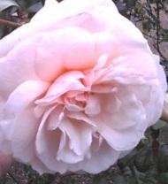 poza Trandafiri de gradina cu radacina ambalata Guinevere