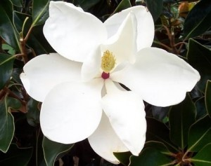 poza Magnolia parfumata de vara MAGNOLIA GRANDIFLORA LITTLE GEM