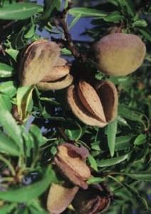 poza Pomi fructiferi Migdal soiul `Buda Teteny` . Puieti fructiferi altoiti, cu radacina ambalata.