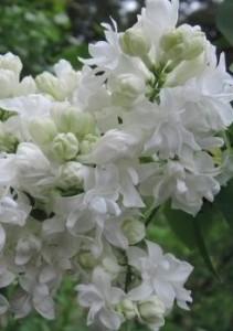 poza Liliac alb ,parfumat cu flori duble, SYRINGA VULGARIS Souvenir D'Alice Harding  ghiveci 5l, h=100 cm