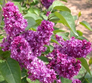 poza Liliac mov parfumat cu flori duble SYRINGA VULGARIS  'CHARLES JOLY'  ghiveci 7.5l,h=100 cm