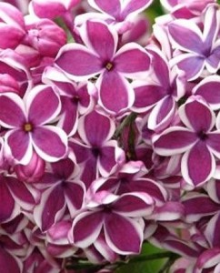 poza Liliac violet-visiniu ,parfumat cu flori simple SYRINGA VULGARIS Sensation ghiveci 5l, h=80 cm