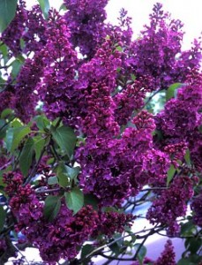 poza Liliac mov -violet parfumat cu flori simple SYRINGA VULGARIS 'Andenken and Ludwig Spath' ,ghiveci 5l, h=80 cm