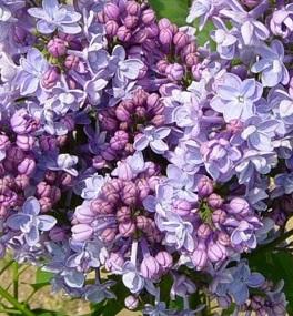 poza Liliac violet ,parfumat cu flori duble SYRINGA VULGARIS 'Michel Buchner' ghiveci 7.5l, h=100 cm