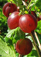 poza Arbusti fructiferi Agris rosu (Ribes uva crispa), Hinnonmaki Rot, ghiveci 1l,h=28 cm