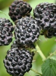 poza Arbusti fructiferi Zmeur, soiul 'Black Jewel',ghiveci 1l, h=28 cm