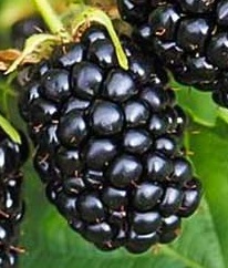Poza Arbusti fructiferi Mur, soiul Merton Thornless, ghiveci 1l, h=28 cm. Poza 11180