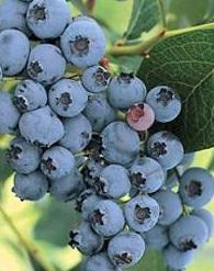 poza Arbusti fructiferi Afin, Vaccinium corymbosum , 'Chandler', ghiveci 3l,h=60/80cm