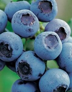 Poza Arbusti fructiferi Afin, Vaccinium corymbosum , Bluecrop, ghiveci 1l,h=28 cm. Poza 11186