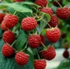 poza Arbusti fructiferi Zmeur, soiul Heritage ,ghiveci 2l, h=55 cm