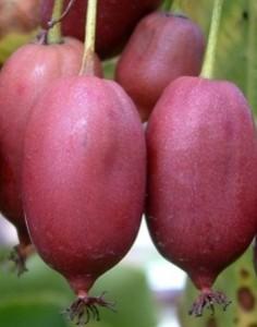poza Arbusti fructiferi Kiwi, soiul 'Purpurna Sadowa' ghiveci 2l, h=80 cm
