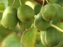 poza Arbusti fructiferi Kiwi, soiul 'Vitikiwi', ghiveci 2l, h=80 cm