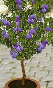 poza Pomi fructiferi pitici Mar/Par/Prun/Cais/Piersic , ghiveci 5l, h=60 cm