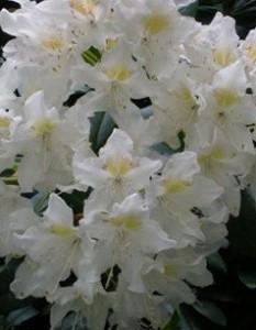 poza Arbusti cu flori RHODODENDRON 'Cunningham' s White',h=35 cm