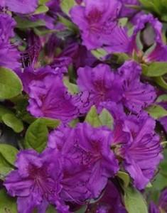 Poza Arbusti cu flori AZALEA JAPONICA Geisha Purple ,h=30 cm. Poza 11234