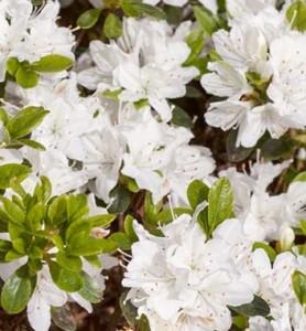 Poza Arbusti cu flori AZALEA JAPONICA Hisako ,h=30 cm. Poza 11236