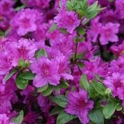 Poza Arbusti cu flori AZALEA JAPONICA Konigstein ,h=30 cm. Poza 11240