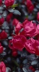 Poza Arbusti cu flori AZALEA JAPONICA Maruschka ,h=30 cm. Poza 11232