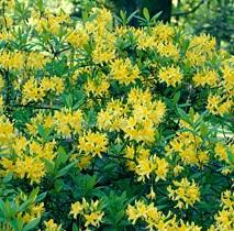 poza Arbusti cu flori AZALEA MOLLIS Luteum, h=60 cm