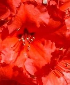 poza Arbusti cu flori RHODODENDRON Red Jack ,h=40cm