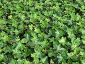 poza Plante cataratoare Hedera hibernica ,h=40 cm