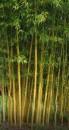 Poza Bambus Phyllostachys Aureosulcata h =100-150 Cm. Poza 11264