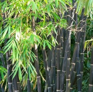 poza Bambus negru `Phyllostachys Nigra`  h=100-150 Cm