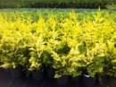 Poza Arbori rasinosi CUPRESOCYPARIS LEYLANDII GOLD RIDER h=175-200 CM. Poza 11278