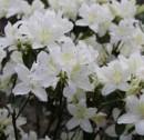Poza Arbusti cu flori AZALEA JAPONICA PALESTRINA VLT 10, planta cu diam. de 35-40 cm. Poza 11286