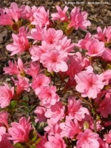 poza Arbusti cu flori AZALEA JAPONICA  BLAW PINK VLT10, planta cu diam de 040-050 cm