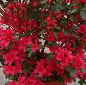 poza Arbusti cu flori AZALEA JAPONICA HINO-CRIMSON VLT 10, planta cu diam de 040-050 cm