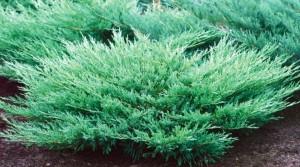poza Arbusti rasinosi JUNIPERUS HORIZONTALIS ANDORA COMPACTA CLT 10