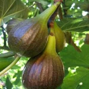 poza Smochin Ficus Carica Brown Turkey arbust ramificat la ghivec H=60-75 CM