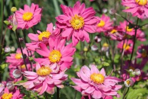 poza Flori perene Anemone PAMINA
