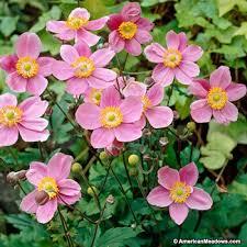 poza Flori perene Anemone SEPTEMBER CHARM