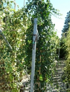 poza Plante cataratoare Hedera hibernica  h=175/200cm