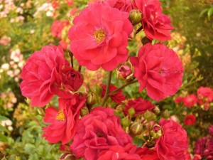 poza Trandafiri pitici de gradina soiul  Red the fairy