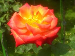 poza Trandafiri pitici de gradina, Margold (portocaliu), in ghiveci de 2 litri