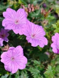 poza Flori de gradina perene Geranium  sanguineum TINY MONSTER