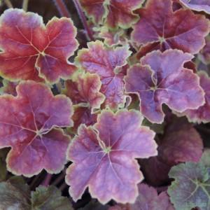 poza Flori de gradina perene Heuchera hybrid MIRACLE