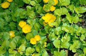 poza Plante acvatice 'Lysimachia nummularia'