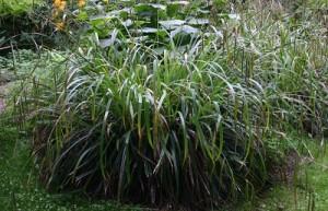 poza Plante acvatice,Carex pendula