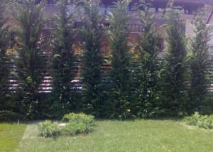 poza Arbori rasinosi CUPRESSOCYPARIS LEYLANDII ghiveci 50-70 litri, h= 350-400 cm pt garduri vii inalte